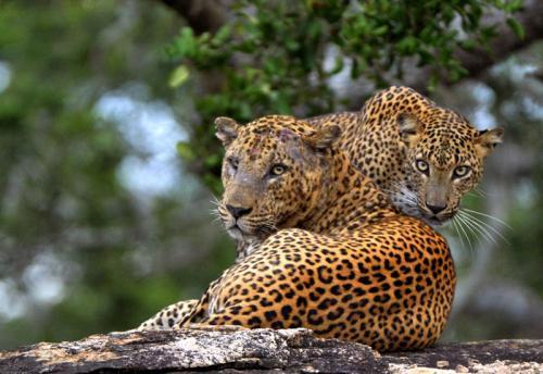 leopards-nature